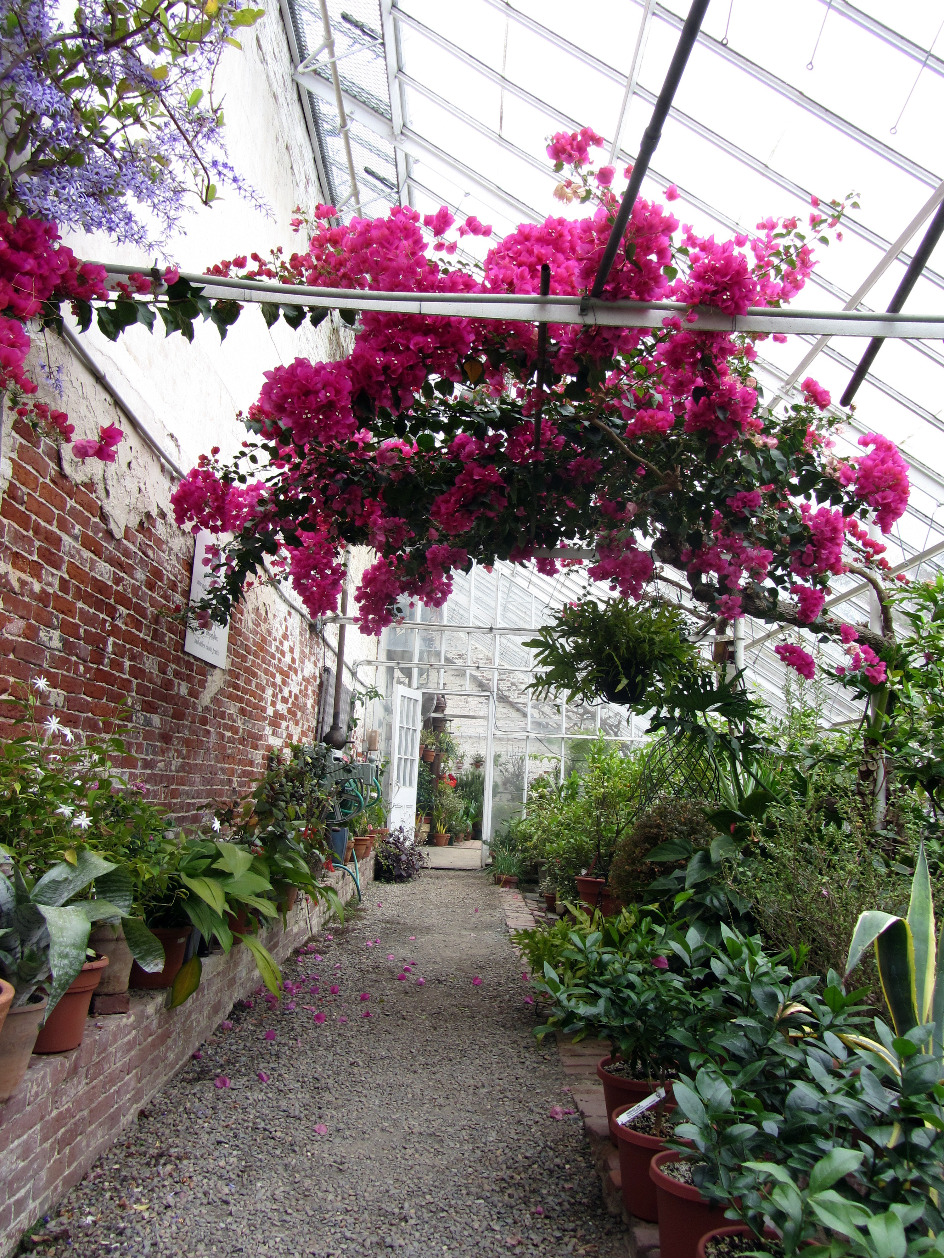 Camellia Craze Streetsofsalem