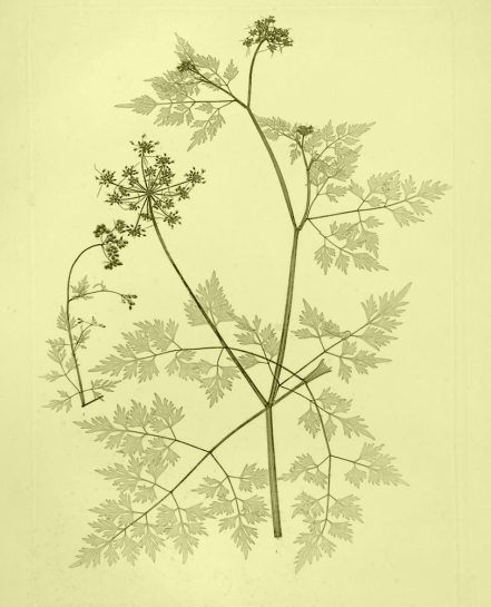 Fool's Parsley 1856 Herbal