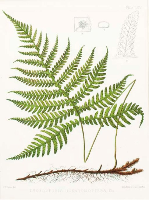 Ferns of North America