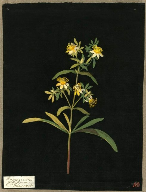 St Johns Wort Delany 2 1770