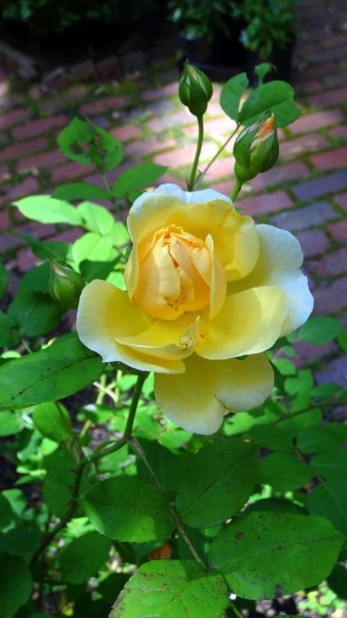 Yellow roses 021