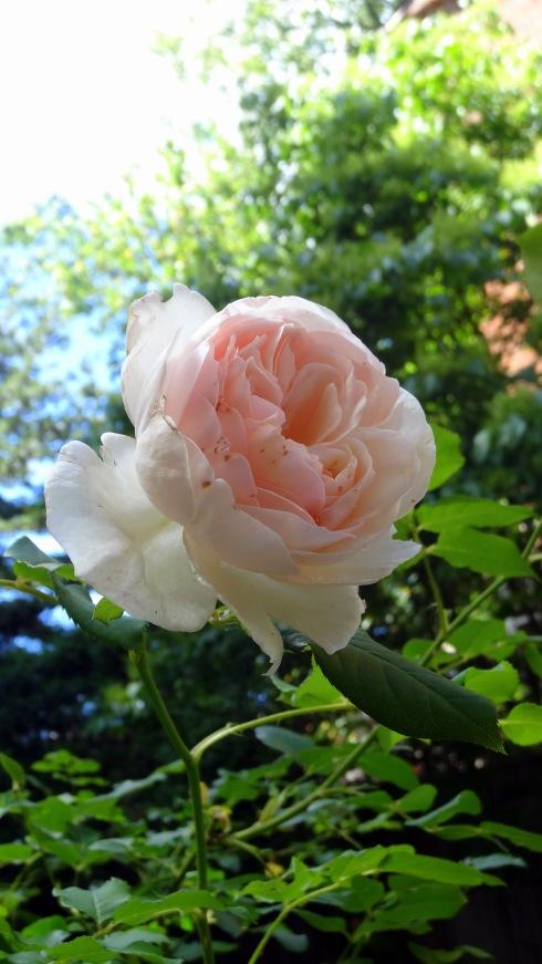 Yellow roses 024