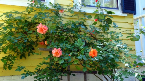 Yellow roses 037