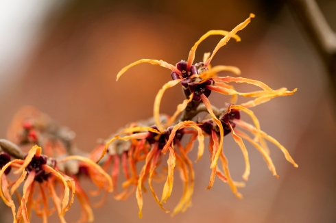 Witch Hazel NYBG