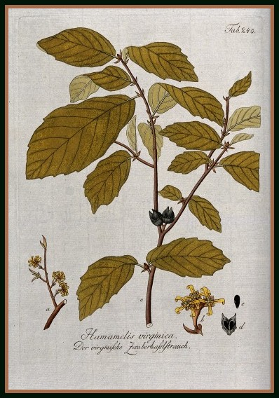 V0043169 Witch hazel (Hamamelis virginica): fruiting stem with flower