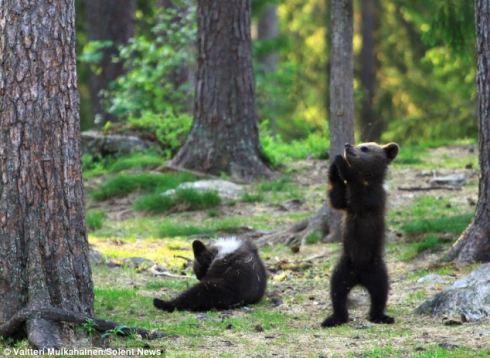 Bears in Finland 3
