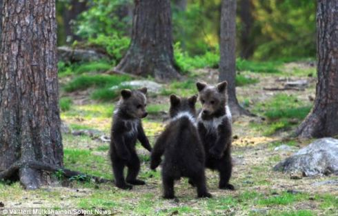 Bears in Finland first