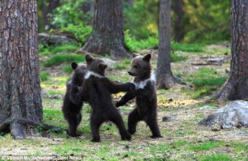 Bears in Finland
