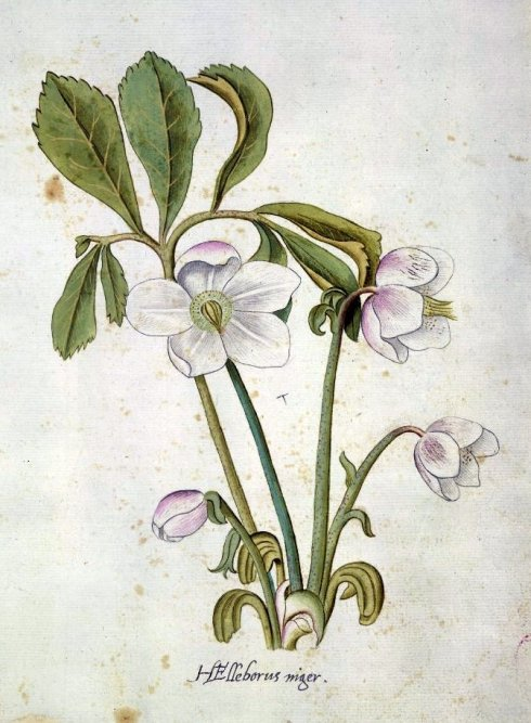 Hellebore after John White BM 1600
