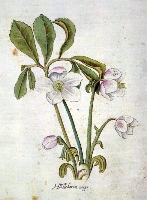 Hellebore after John White BM 1600
