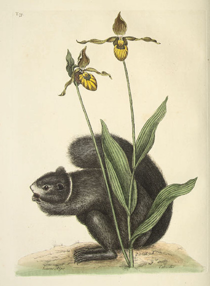 Catesby Lady Slipper and Squirrel