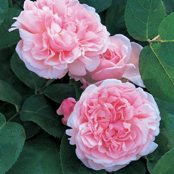 Swithun Rose