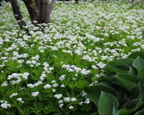 Sweet Woodruff Bluestone Perennials