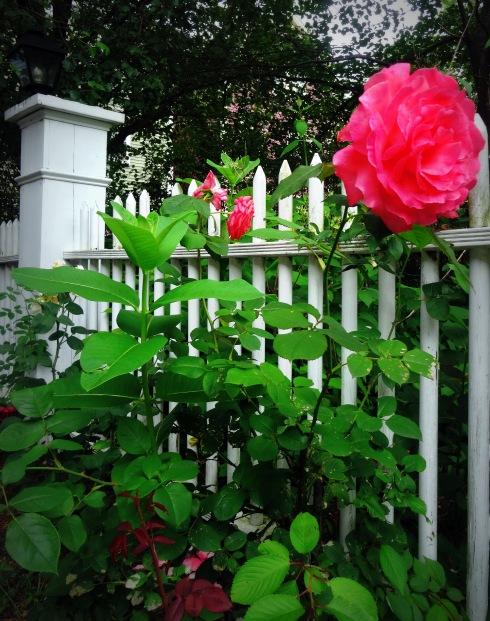 Late June Roses in Salem