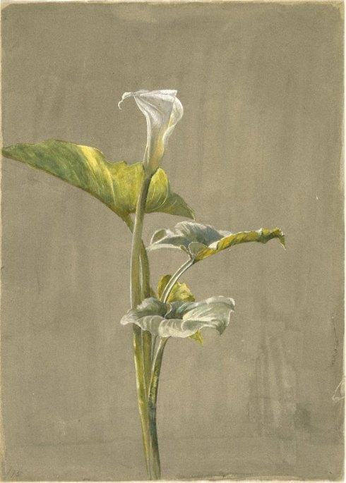 Fidelia Bridges Calla Lilly 1875