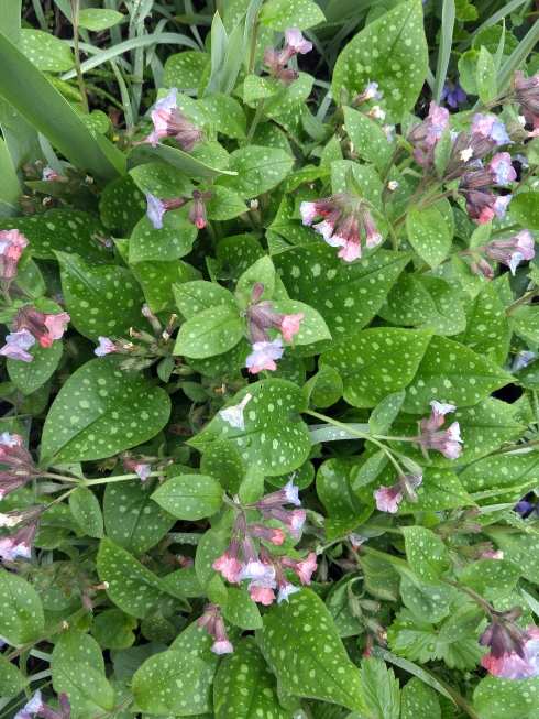 Mothers Day Derby Lungwort
