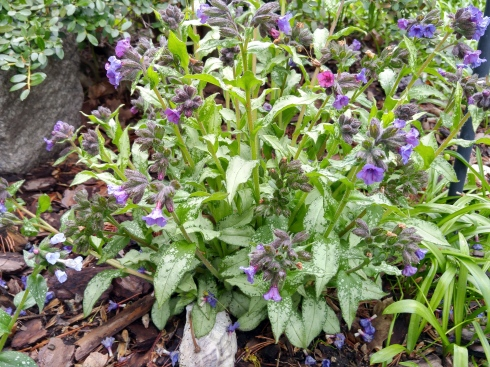 Mothers Day lungwort home