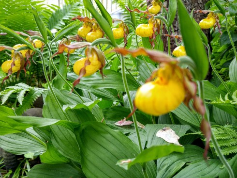 lady slippers 2