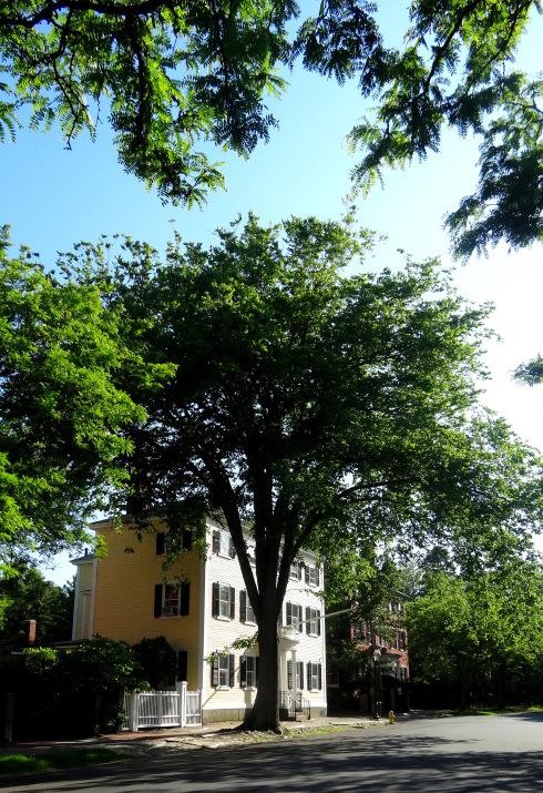 Chestnut Street Elm