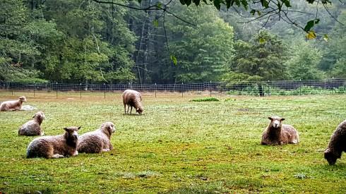 ramble-sheep