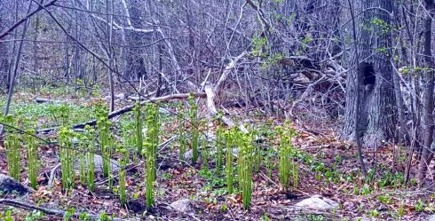 Fiddleheads Forest