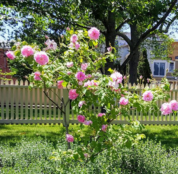 June Roses 6