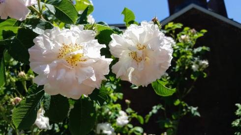 June Roses 8