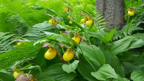 Nature Lady Slippers 3