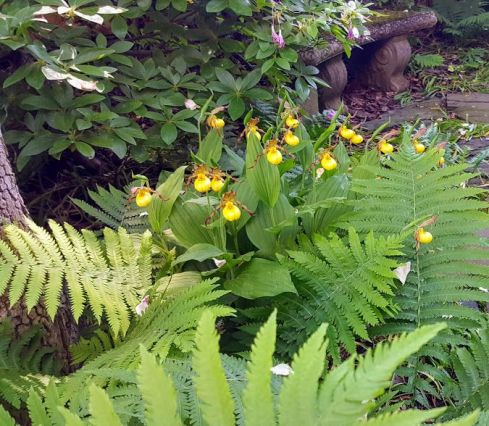 Nature Lady Slippers