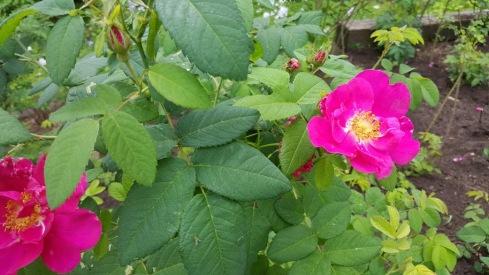 Roses Lex 2