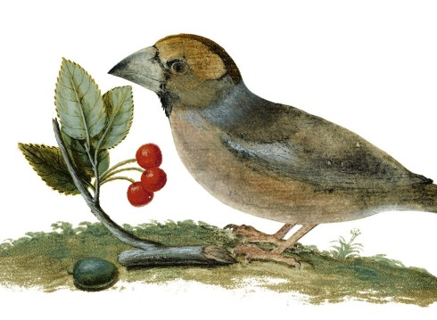 Books Hawfinch