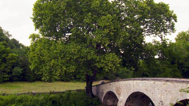 witness-tree-sycamore-burnside-bridge-antietam-620
